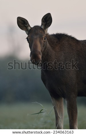 Moose portrait - stock photo