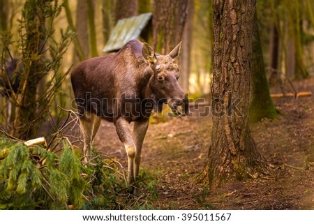 Moose portrait. Moose photographed in animal park - stock photo
