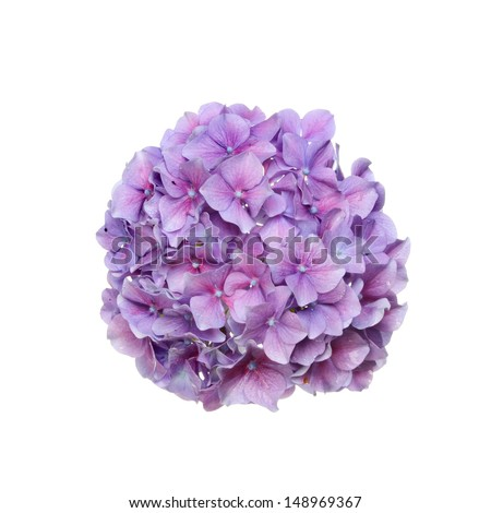 Mop head hydrangea flower isolated against white - stock photo