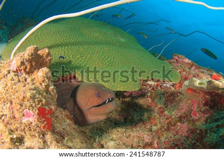 Moray Eel and coral reef - stock photo