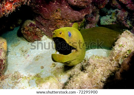 Moray Eel in the reef - stock photo