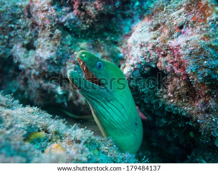 Moray eel in the sea of cortez - stock photo