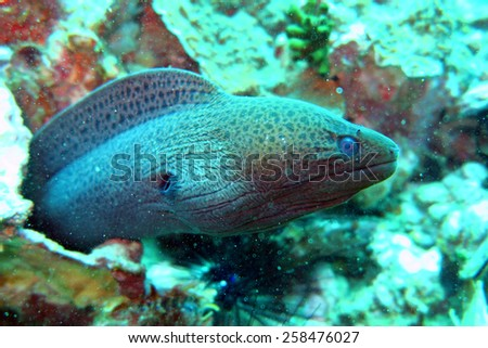 moray eel - scuba diving at the coral reef in Thailand - stock photo