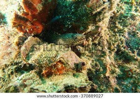 Moray eel underwater - stock photo