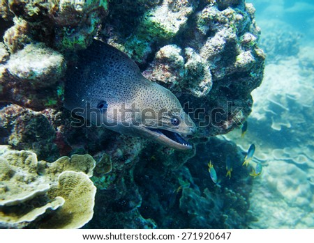 moray, hiding in the coral. Thailand - stock photo