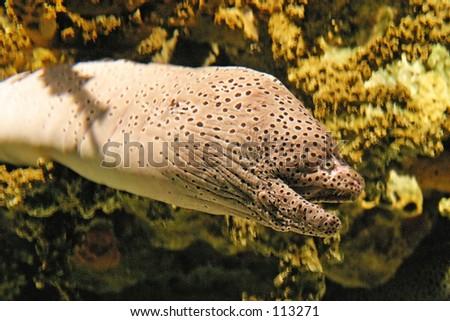 Moray in Lisbon Oceanarium - stock photo