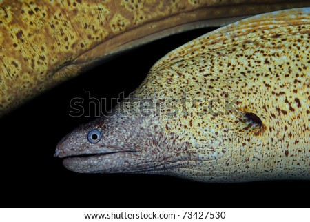 Moray Muraena helena (Adriatic sea) - stock photo