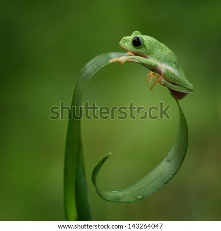 Morelet's tree frog on a nice curved leaf - stock photo