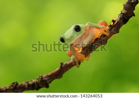 Morelet's tree frog with a beautiful background - stock photo