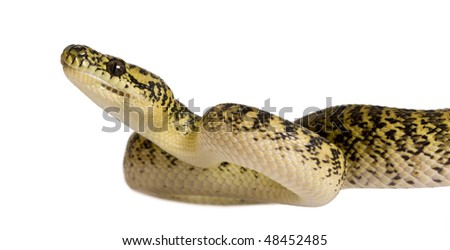 Morelia spilota variegata, a subspecies of python, against white background - stock photo
