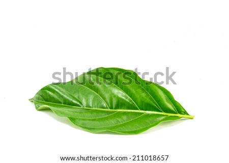 morinda citrifolia leaf on white background - stock photo