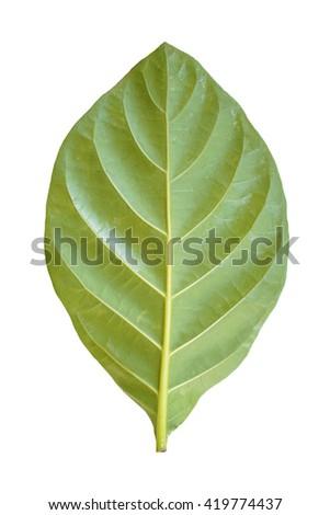 morinda leave on white background  - stock photo