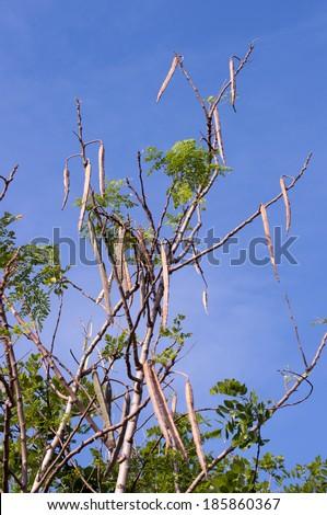 Moringa trees - stock photo