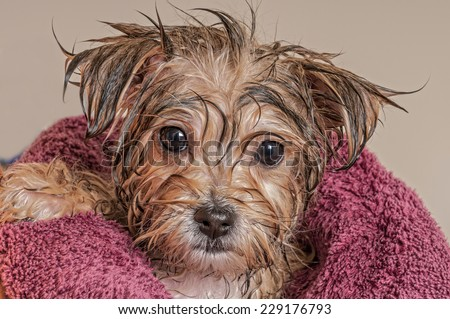 Morkie Puppy Getting Dry After His Bath - stock photo