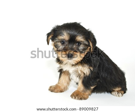 Morkie puppy that looks like he is sorry or sad about something, on a white background. - stock photo
