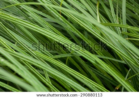 Morning dew on grass. Botanical texture - stock photo