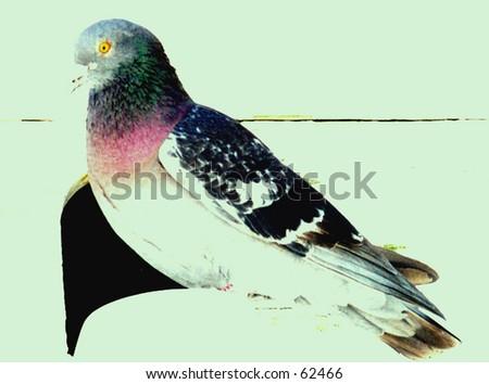 Morning Dove - stock photo