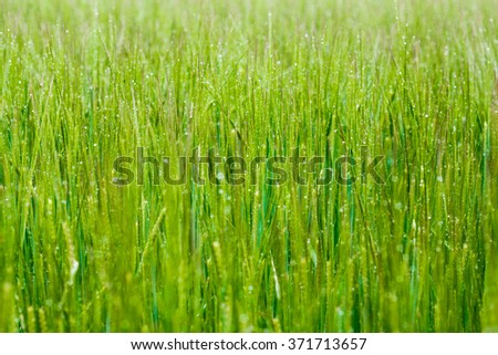 Morning drops of dew on green grass  - stock photo