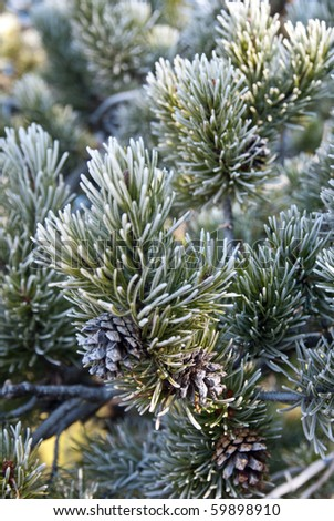 Morning frost glistens on the branch of a Lodgepole Pine - stock photo