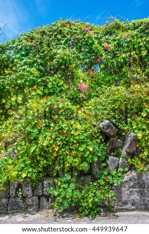 Morning glories growing wild along this old stone wall in Bermuda. - stock photo