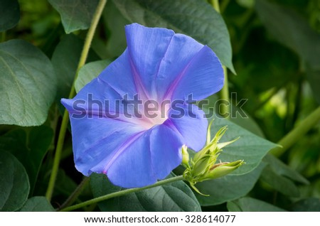morning glory or ipomoea purpurea flower in full bloom closeup and isolated against lush green foliage - stock photo
