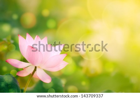 Morning lotus flower in the farm under warm sunlight. - stock photo