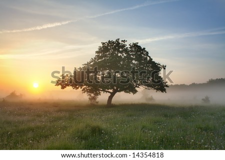 Morning mist and oak - stock photo