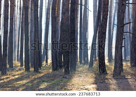 morning mist in pine forest - stock photo