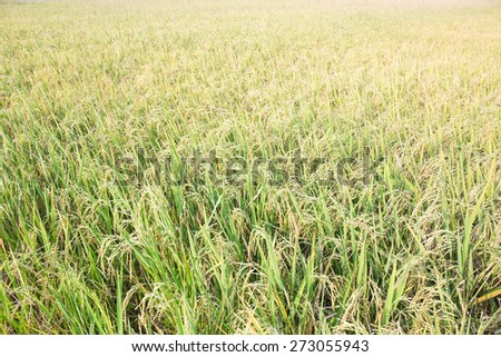 morning soft light with Ripe rice farm ready to harvest stage - stock photo