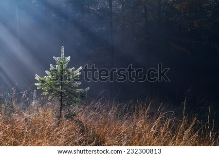 morning sunbeams in misty forest over little spruce tree - stock photo