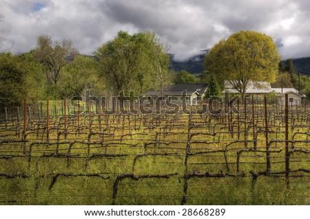 Morning Vineyard - stock photo