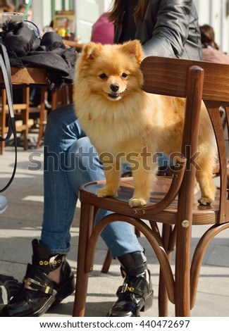 MOSCOW, RUSSIA - MAY 15, 2016: Pomeranian with dog owner at table in restaurant - stock photo