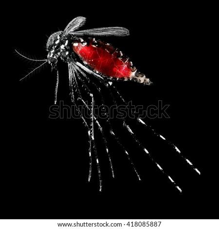 Mosquito (Aedes albopictus), also known as (Asian) tiger mosquito or forest mosquito, female with blood on a black background - stock photo