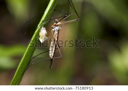 Mosquito an green grass - stock photo