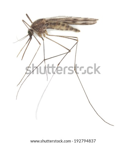 Mosquito Anopheles maculipennis isolated on white background - stock photo