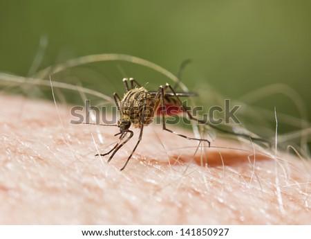 Mosquito Biting - stock photo