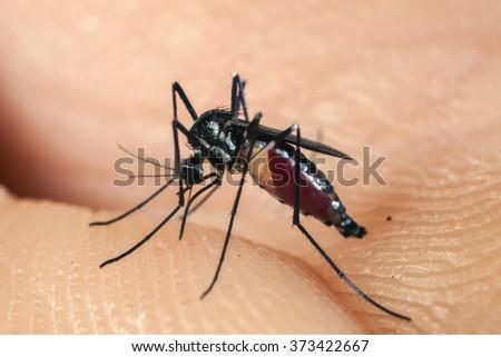 Mosquito biting human skin - drinking blood - stock photo