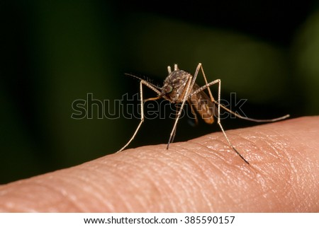 Mosquito by ready to sucking blood - stock photo