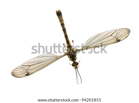 Mosquito close-up on white background. - stock photo