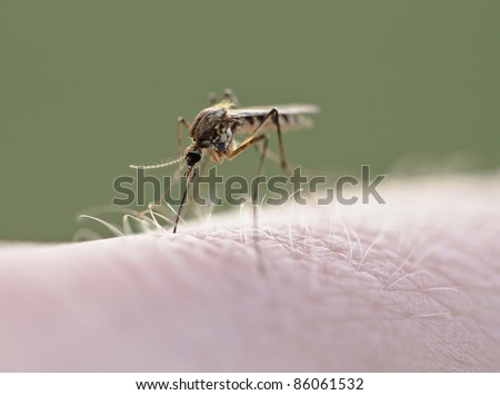 Mosquito (Culex pipiens) sucking blood on human skin, macro photography - stock photo