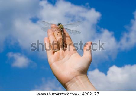 mosquito hawk - stock photo