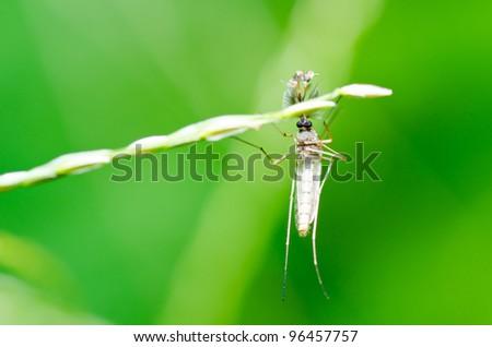 mosquito in nature - stock photo