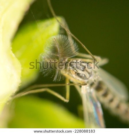 mosquito in nature. close-up - stock photo