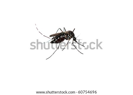 mosquito macro shot  isolated on white - stock photo