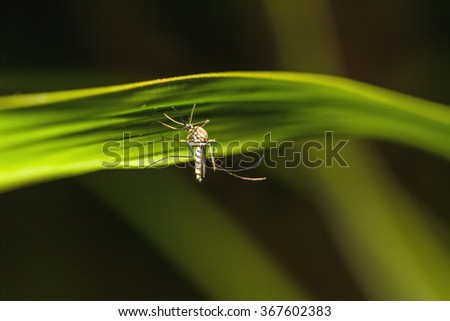 Mosquito on green leaf in twilight ,mosquito is carrier of dengue fever in tropical countries - stock photo