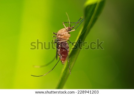 Mosquito on leaf - stock photo