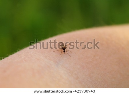 Mosquito-Piskun (Culex pipiens) feeds on the blood of the human body - stock photo