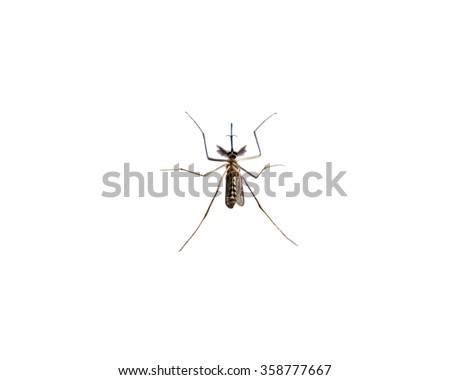 Mosquito species aedes aegyti sleep open isolated - stock photo