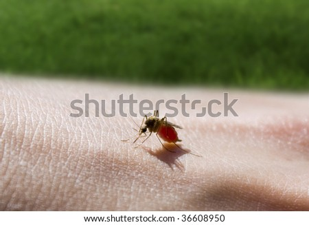 mosquito sucking a hand - stock photo