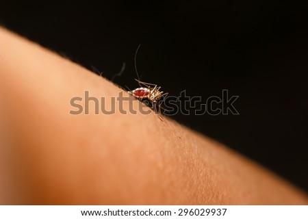 mosquito sucking blood - stock photo